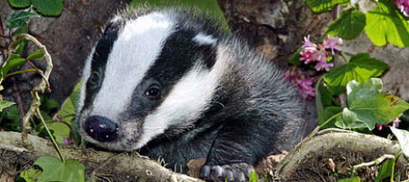 Stopping proposed badger cull in Co. Down, N.Ireland and Republic